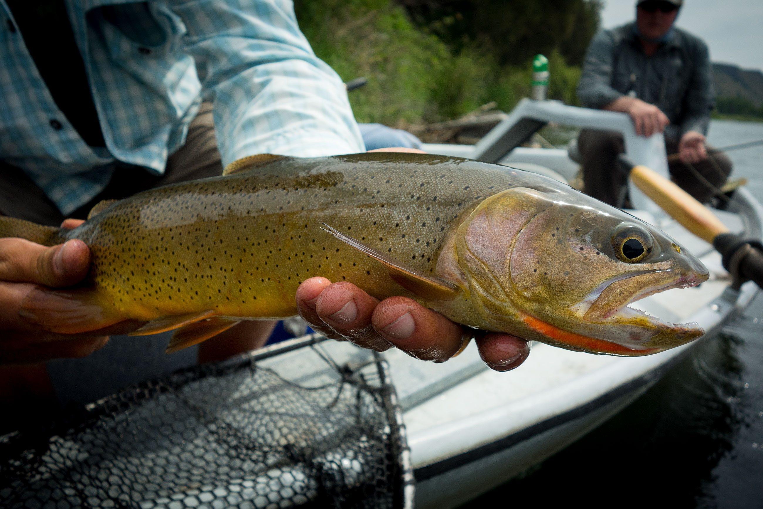 Typical South Fork fish. The two days would be stacked with fish of this size smashing our huge dry flies.