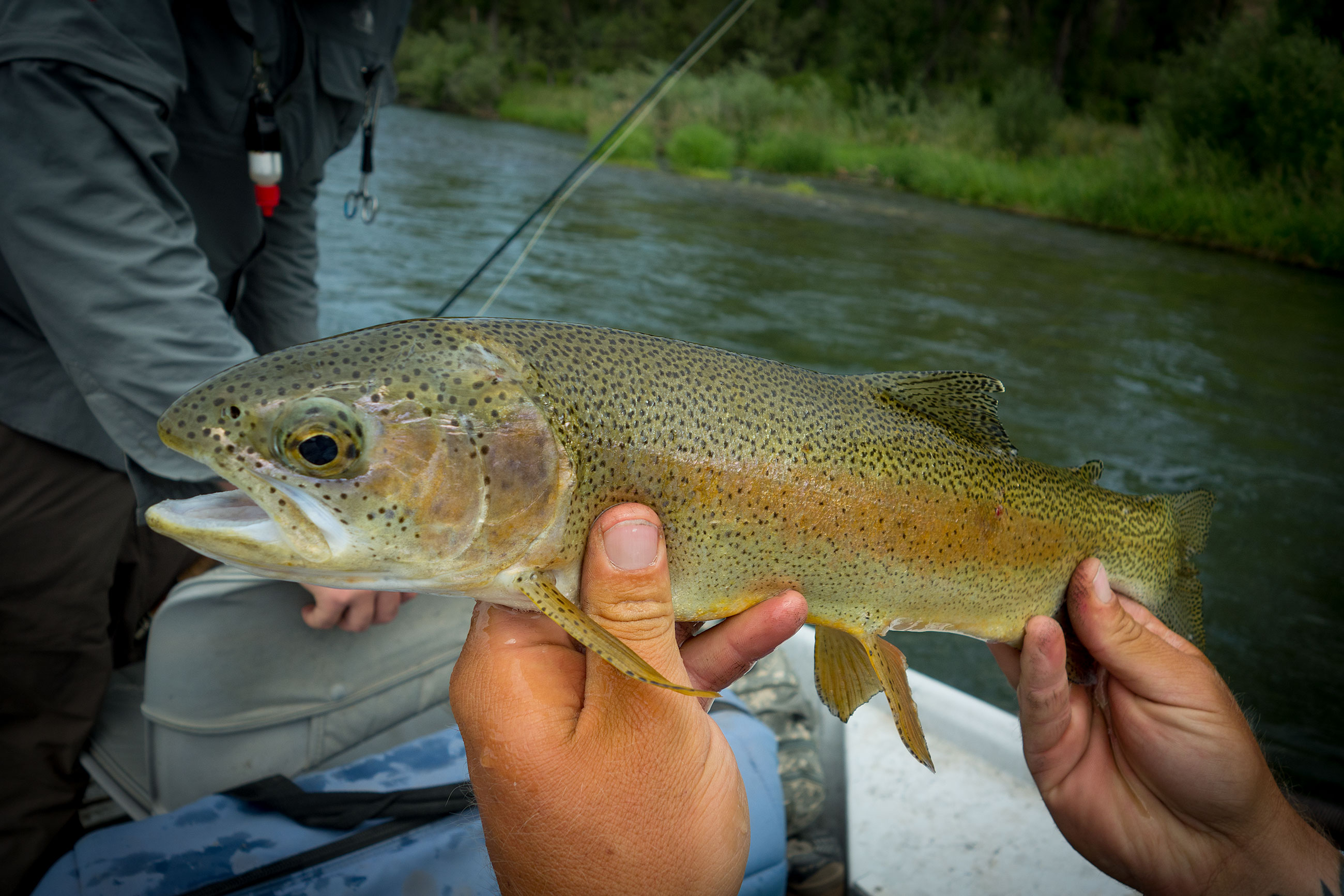 Another healthy fish that smashed a size 6 dry fly.